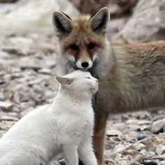Cat and fox pals prove unlikely animal friends might be the sweetest
