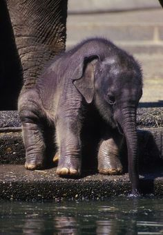 Time for a Little Sip, baby elephant, bebe elefante Cute Baby Animals, Animals And Pets, Funny Animals, Baby Wild Animals, Large Animals, Funny Cats, Asian Elephant, Elephant Love, Baby Elephants