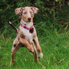 11 Dog Breeds You've Probably Never Heard Of - Prized by Native Americans for their incredible hunting abilities, these pups have been favorites of famous hunters like Teddy Roosevelt. The Catahoula Leopard Dog is named after the Catahoula Parish in Louisiana, where the breed originated.