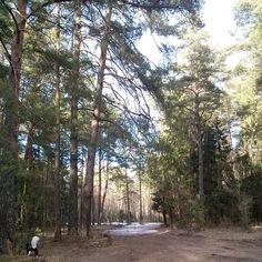 #найдисобакунафото  #North #puppy #springtime #samoyed #самоед #white #forest #perfectweather #walking #nofilter