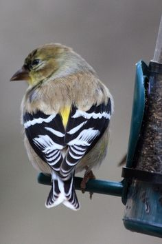 tail feathers ~ American Goldfinch