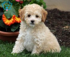 Best Buddy | Poodle - Toy Puppy For Sale | Keystone Puppies Toy Puppies For Sale, Poodle Puppies For Sale, Love People, Design Development, Cool Toys, Dogs, Animals, Animales, Animaux