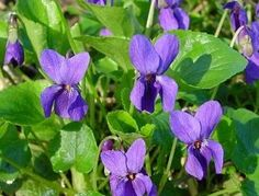Basho provides us with a simply beautiful haiku:    Traveling this high  mountain trail, delighted  by violets