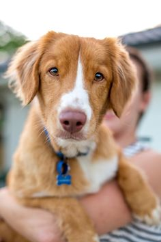 Pup & Co | Daily Dog Tag | Nova-Scotia-Duck-Tolling-Retriever, #Toller