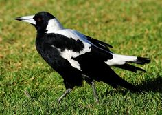 These birds are aesthetically pleasing, but can be quite a menace to humans. During the spring season they emerge and attack unsuspecting people, especially those on bikes who are openly exposed to their chaos. Because of this ferocity, they have become the mascot of multiple Aussie sporting teams.