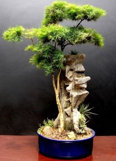 I just luv Bonsai Indoor Bonsai Tree, Bonsai Plants, Bonsai Garden, Bonsai Trees, Ikebana, Plantas Bonsai, Bonsai Meaning, Mini Plantas, Terrarium