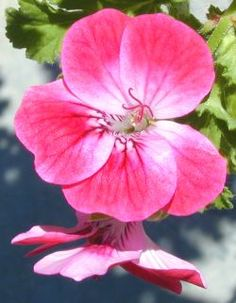 Scented geraniums are an addictive growing hobby! They are actually pelargoniums and their leaves emit scented oils that range from fruit to mint, rose and chocolate scented. Fun to have in the garden and house and a must for a child's garden. They can be used to flavor and scent a wide variety of things!