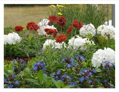 These beauties with their Patriotic flare are Gaillardia Galya 'Red Spark', Phlox paniculata 'Flame White' which is a dwarf, and Ceratostigma plumbaginoides (blue). These will be blooming well past the 4th of July!