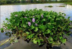 Eichhornia - čistí rieky od pesticídov a iných toxínov - OZ Biosféra Herbs, Plants, Herb, Plant, Planets, Medicinal Plants