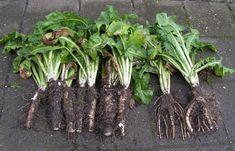 24) Witlof kweken – sjeftuintips Compost, Asparagus, Vegetables, Veggie Food, Vegetable Recipes, Veggies, Composters