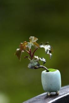 アイビーの超ミニ盆栽