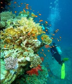 Snorkelling in Red Sea, Sharm-el-Sheikh, Egypt. Absolutely gorgeous coral and fish!