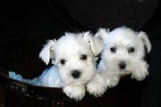 white miniture schnauser puppiess <3