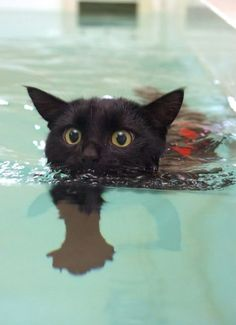 Tootsie, a little black cat who was left to die after a hit and run does hydrotherapy to recover the movement on his right leg. Tootsie started on the long road to recovery with just 90-second dips while wearing a harness to help lower him in and out of the pool. But by the end of the six-week training plan he was able to swim freely without his safety rope or harness for 20 minutes at a time. #blackcatsrule