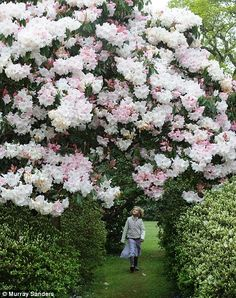 LILY MANNING (8) WALKS THROUGH A TUNNEL OF RHODODENDRON LODERI KING GEORGE WHICH IS ENJOYING ITS MOST SPECTACULAR YEAR DUE TO THE HEAVY RAIN....AT EXBURY GARDENS IN THE NEW FOREST HAMPSHIRE