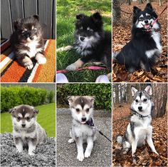 Please have a read through some of our happy pomsky owners testimonials. We pride ourselves in our testimonials. Some great testimonials from loving homes Pomsky Puppies, Dogs And Puppies, Puppy Supplies, Happy Puppy, Fenced In Yard, Happy Animals, Dog Owners, Dog Breeds, Cute Dogs