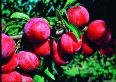 The Ozark Premier plum tree produces red skin, freestone plums. This plum variety is one of the best tasting plums available. Organic Vegetables, Fruits And Veggies, Fruit Trees For Sale, Plum Varieties, Plant Companies, Prairie Garden, Organic Snacks, Plum Tree, Red Skin