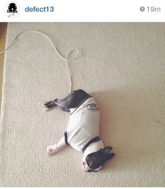 Charging french bulldog