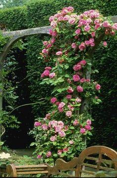 Climbing Roses come on into my secret garden ; Unique Gardens, Beautiful Gardens, Tableaux Vivants, Colorful Roses, Climbing Roses, My Secret Garden, Garden Styles, Dream Garden, Beautiful Roses