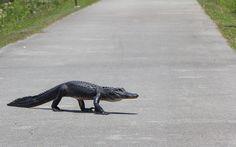 Shark Valley Everglades National Park - Alligatoren garantiert
