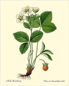 MUSK STRAWBERRY antique botanical print от PosterPlace на Etsy
