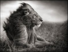 Nick Brandt, Lion Before Storm II - Sitting Profile, Maasai Mara, 2006. Brandt does not use a telephoto lens.