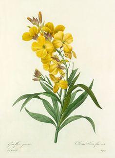 Pierre Joseph Redouté -- Giroflée jaune : Cheiranthus flavus -- Pierre-Joseph Redouté -- Artists -- RHS Prints