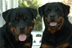 Pictures of Rottweilers we have sold