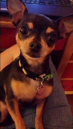 Chihuahua love is precious!