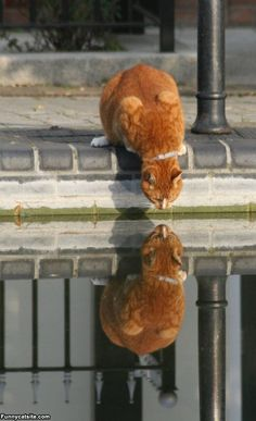 ♂ Who are you? (cat look at its reflection animal humor)