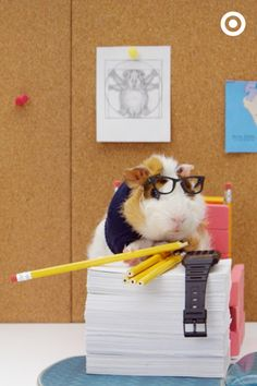 Cute little guinea pig alert. Maybe it's the fact that he's wearing glasses and has his very own calculator watch, but this guinea pig is sharp. Someone's very ready for school.