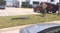 VIDEO: Trapper wrestles gator at Pasco County car dealership Pasco County, Wesley Chapel, Weird, Florida, Wrestling, Car, The Florida, Automobile, Outlander
