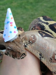 Pictures of cute snakes with hats that will make your day brighter. Not only that, you will know what is the best small pet snakes for beginner. Snakes With Hats, Baby Snakes, Cute Reptiles, Reptiles And Amphibians, Best Small Pets, Happy Birthday Animals, All Funny Videos, Cute Snake, Beautiful Snakes