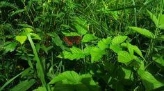 Metsänokiperhonen (Erebea ligea) ottaa aurinkoa metsän laidalla