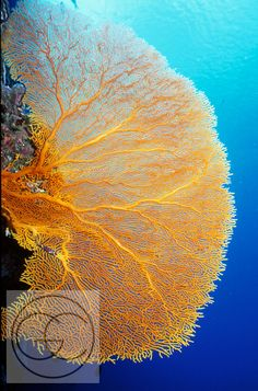 Large Seafan at Ngemelis Wall, Palau, Micronesia done this dive too. Timor Oriental, Importance Of Water, Underwater Plants, Federated States Of Micronesia, Coral Art, Beautiful Fish, South Pacific, Ocean Life, Island Life