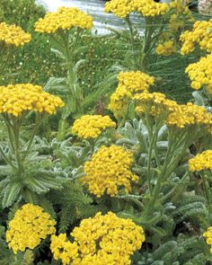 """Goldie Yarrow - TB138Botanical Name:Achillea tomentosa 'Goldie' Flower Color:Bright yellow Hardiness:Zone 3 -30 to -40°F Flower Type:Dense clusters of small blooms Flowering Period:Summer to Fall Foliage:Fuzzy gray-green, evergreen Plant Size:6-8"""" x 12-18"""" Growth Habit:Mat-forming Suggested Uses:Rock gardens, small-scale ground cover, mixed plantings Soil Needs:Requires excellent drainage. Light Needs:Full Sun/ 6+ Hours of Direct Sun per Day"""