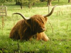 Highland Cow by Kirsty Anderson