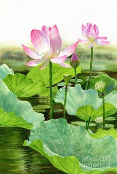 Two Pink Lotus Blossoms With Bud Art Print by Sharon Freeman.  All prints are professionally printed, packaged, and shipped within 3 - 4 business days. Choose from multiple sizes and hundreds of frame and mat options.