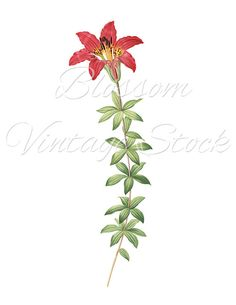 Antique Illustration - Botanical Red Flower Clipart Digital Image for Printing, Artwork, Collage INSTANT DOWNLOAD