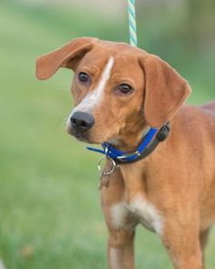 Dexter is an adoptable Hound searching for a forever family near Crystal, MN. Use Petfinder to find adoptable pets in your area.