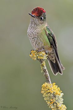 Sephanoides sephaniodes - fernandezik chilijski - Green-backed Firecrown