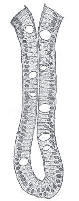 Crypte de Lieberkühn — glande intestinale