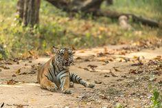 The sub adult back water female tigress at Kabini Nagarhole National Park