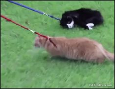 """CAT GIF • Two funny Cats with harness. They don't want to walk in the park, haha. """"We took the kitties to the local park for some outside adventure, only for Simon to completely refuse to walk at all while wearing."""""""