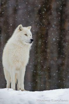 Attic Wolf, Let it Snow by Maxime Riendeau