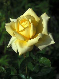 'Irish Gold' Hybrid Tea Rose