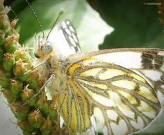 Zoom a una mariposa en mi jardín.