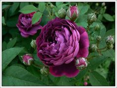 Rosa 'Reine des Violettes' Rose This week's plant of the week is from the Rosaceae family, Rosa 'Reine des Violettes'. This rose is a vigorously, spreading almost thornless shrub. David Austin Rosen, Rose Foto, Ronsard Rose, Shrub Roses, Old Rose, Deco Floral, Love Garden, Photos Voyages, Unique Gardens