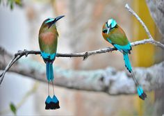 Turquoise-browed Motmots (Eumomota superciliosa) by Jadwiga Dabrowski. This motmot is found from south-east Mexico (mostly the Yucatán Peninsula), to Costa Rica. Most Beautiful Birds, Pretty Birds, Beautiful Horses, Beautiful People, Ribbon Tattoos, In The Tree, Colorful Birds, Fauna, Kingfisher