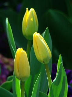 Yellow tulip buds... Summer Flowers, Cut Flowers, Flowers Nature, Beautiful Flowers, Tulip Season, Tulips Garden, Tulip Fields, Flower Landscape, Yellow Tulips